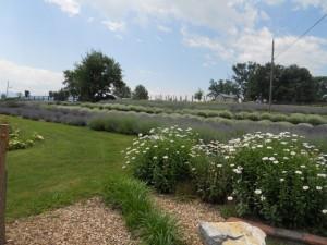 White Oak Lavender Farm - July 2013