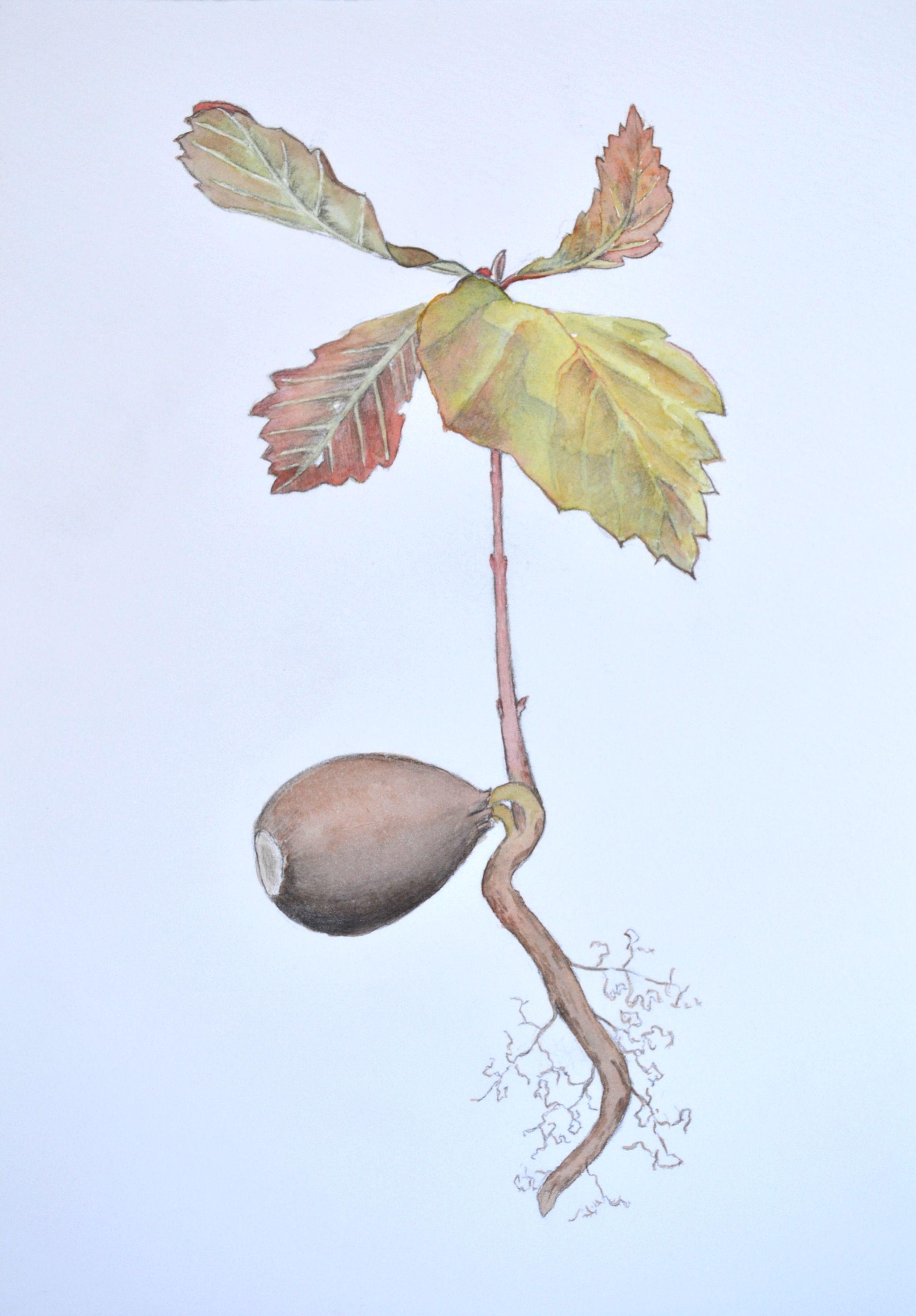 Hertzler - Red Oak